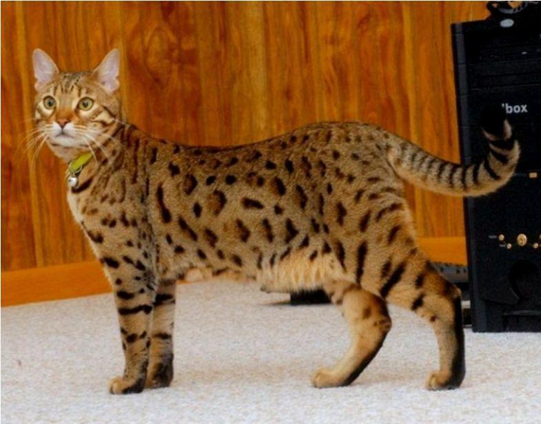 Kucing Bengal Cat Domestic Longhair Dlh Kucing G5 Kucing Biz